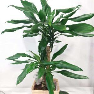 pianta da interni - dracaena - consegna a domicilio
