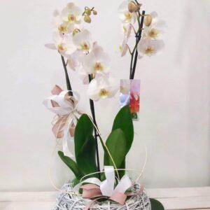 orchidee varie dimensioni con vaso - consegna a domicilio