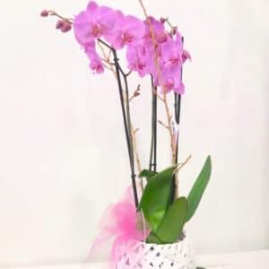 orchidee vari colori - consegna a domicilio