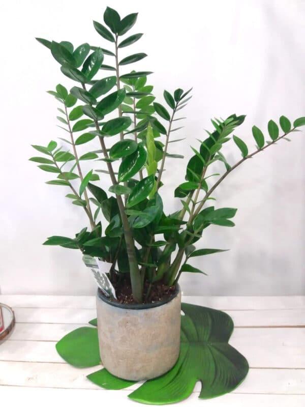 pianta da interni di zamia- consegna a domicilio