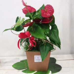 pianta da interni con fiori rossi - anthurium - consegna a domicilio