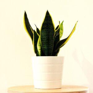 pianta da interni - sansevieria - consegna a domicilio