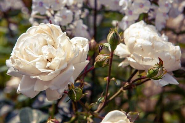 rose bianche inglesi stelo lungo o corto - consegna a domicilio