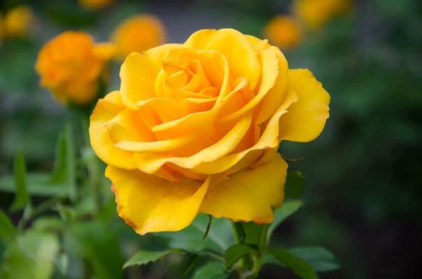 rose arancioni in mazzi o bouquet - consegna a domicilio