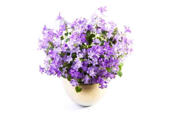 piante di campanule vari colori - consegna a domicilio