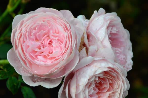 rose rosa inglesi - consegna a domicilio