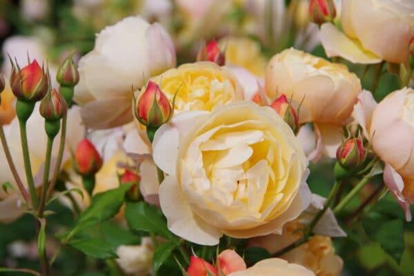 rose inglesi arancioni - consegna a domicilio